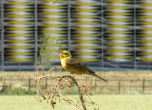 Yellowhammer_Addenbrookes